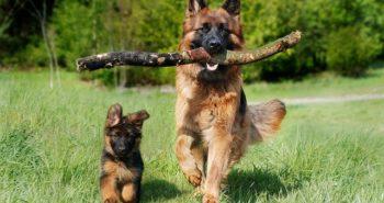 כלב רועה גרמני